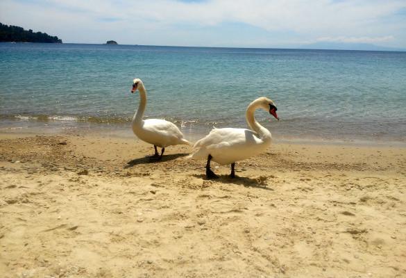 Plivanje sa Labudovima na Plaži Ampelakia Skiatos